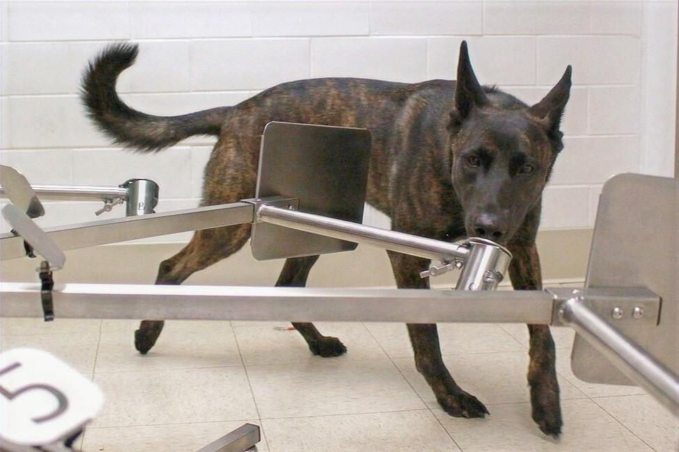 Cão em treinamento na PennVet
