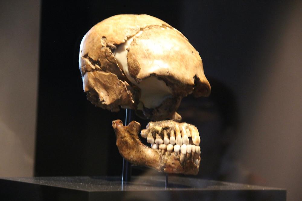 Cérebro de neandertal