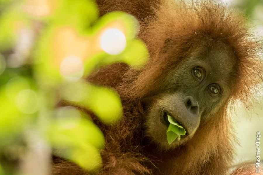 Orangotango Tapanuli