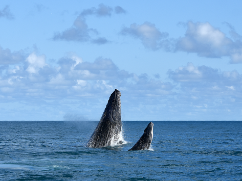 Baleias jubarte diminuem na costa do Brasil