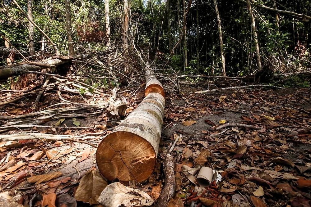 Tora de floresta desmatada