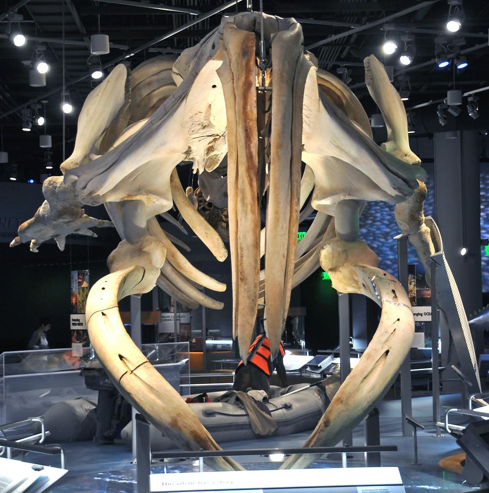 Baleia em museu