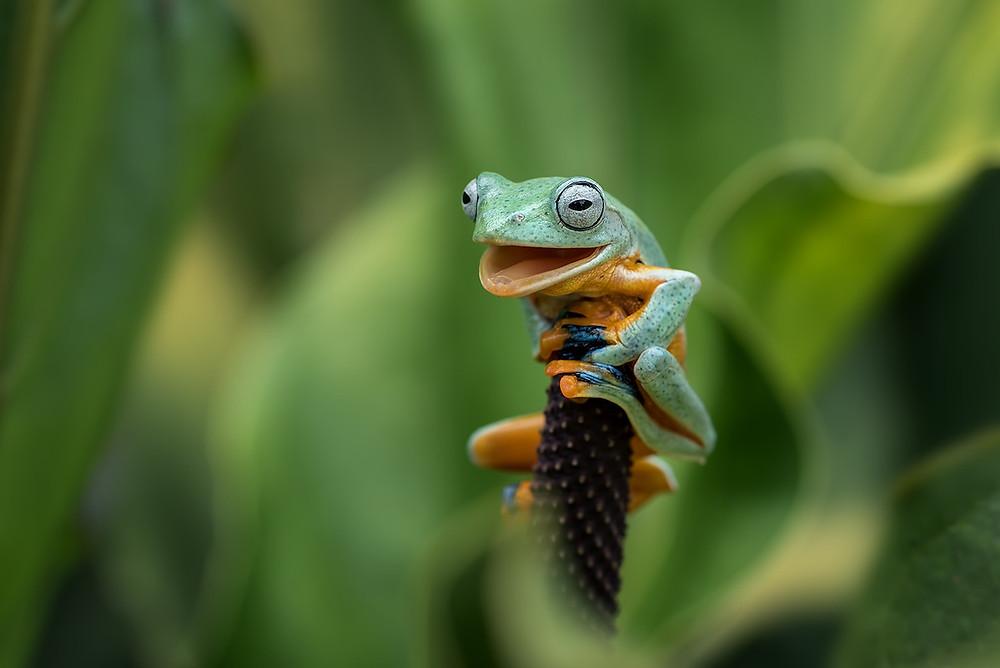 Perereca-verde