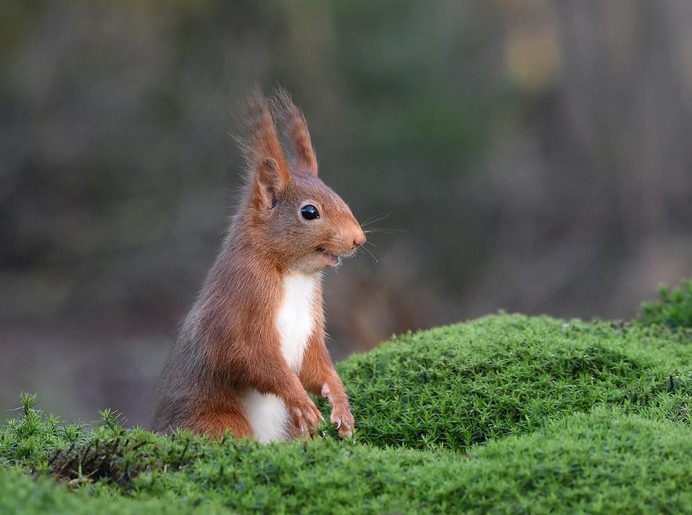 Esquilo-vermelho-eurasiano