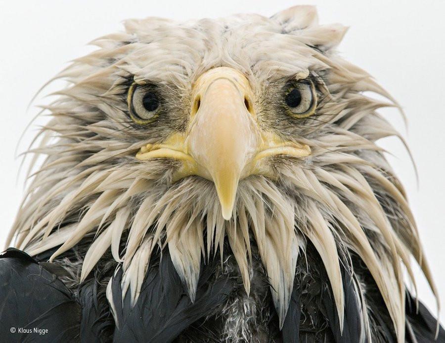 Uma águia-careca ensopada, depois de dias de chuva, no porto holandês da ilha Amaknak, no Alasca, numa foto de Klaus Nigge. Essa espécie declinou até os anos 60, quando medidas de proteção entraram em campo e ajudaram a sua sobrevivência.