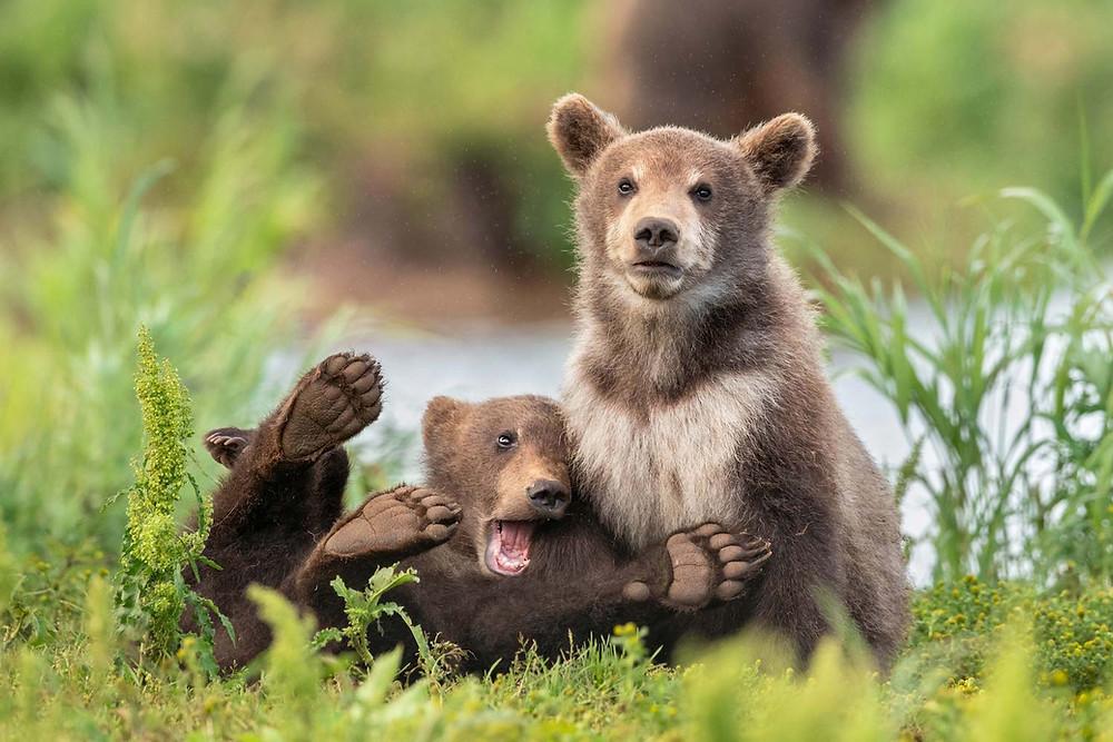 Ursos-marrons