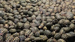 Documentada: a venda ilegal de jabutis