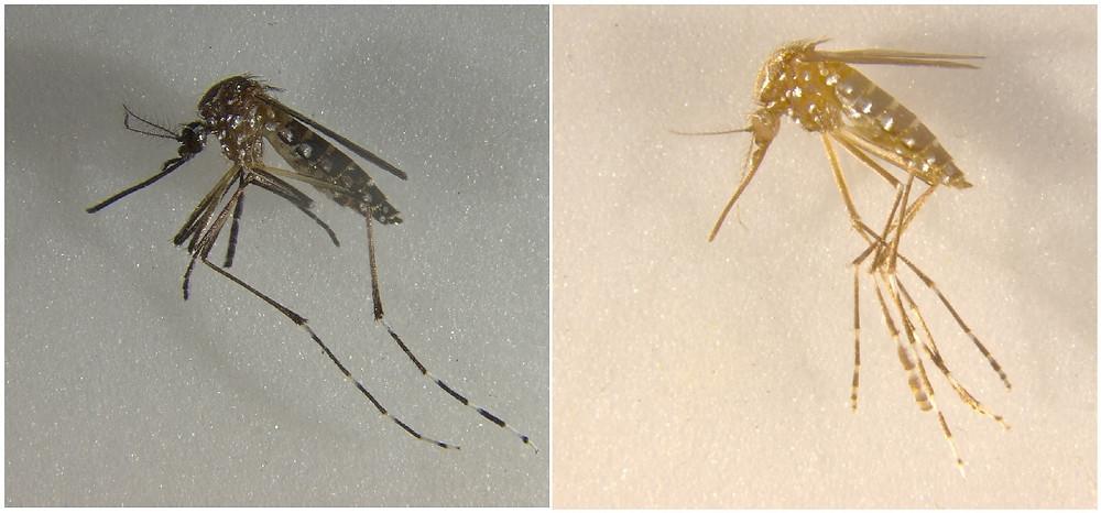 Mosquito com genes modificados