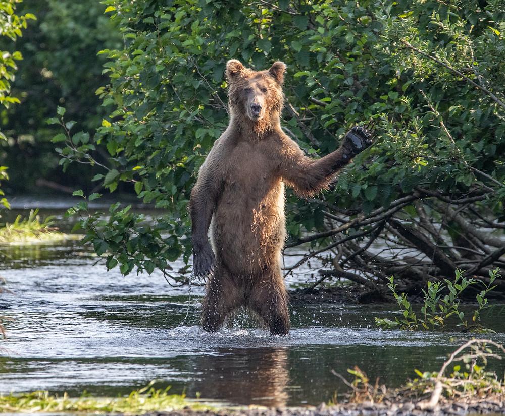 Urso-marron