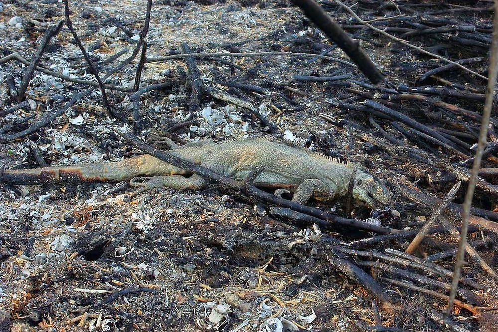 Incêndio mata animais no Pantanal