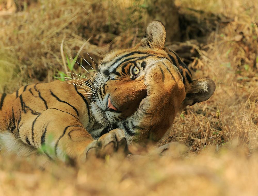 Tigre-real-de-bengala