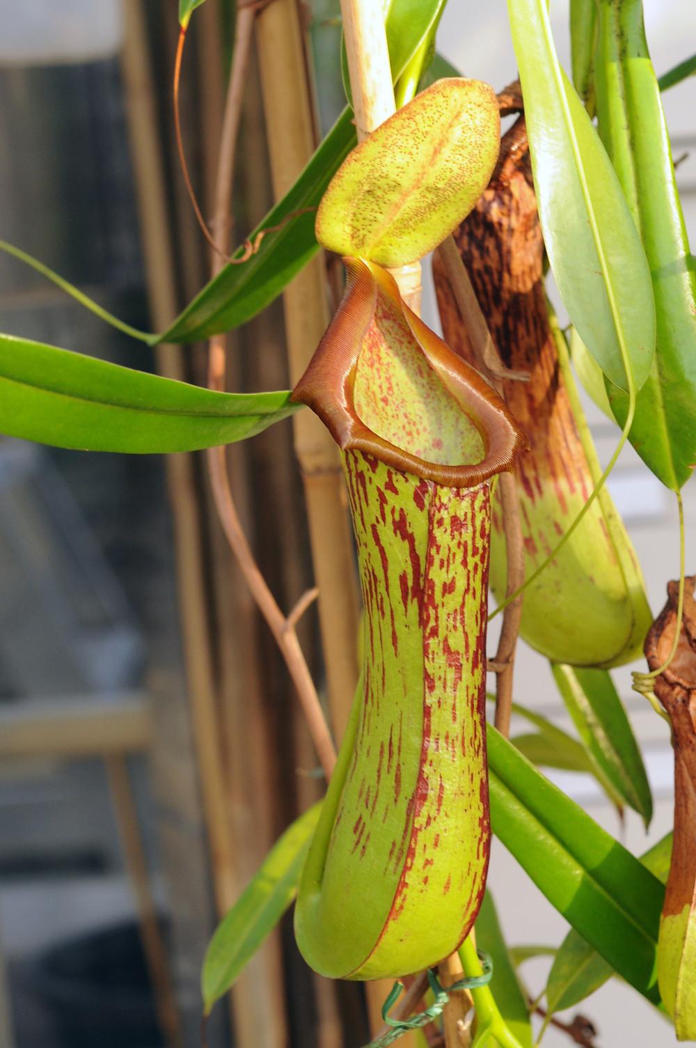 flor de Nova Guiné
