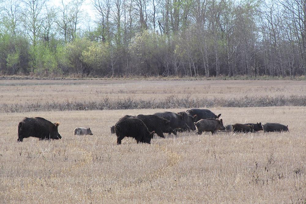Porcos selvagens canadenses