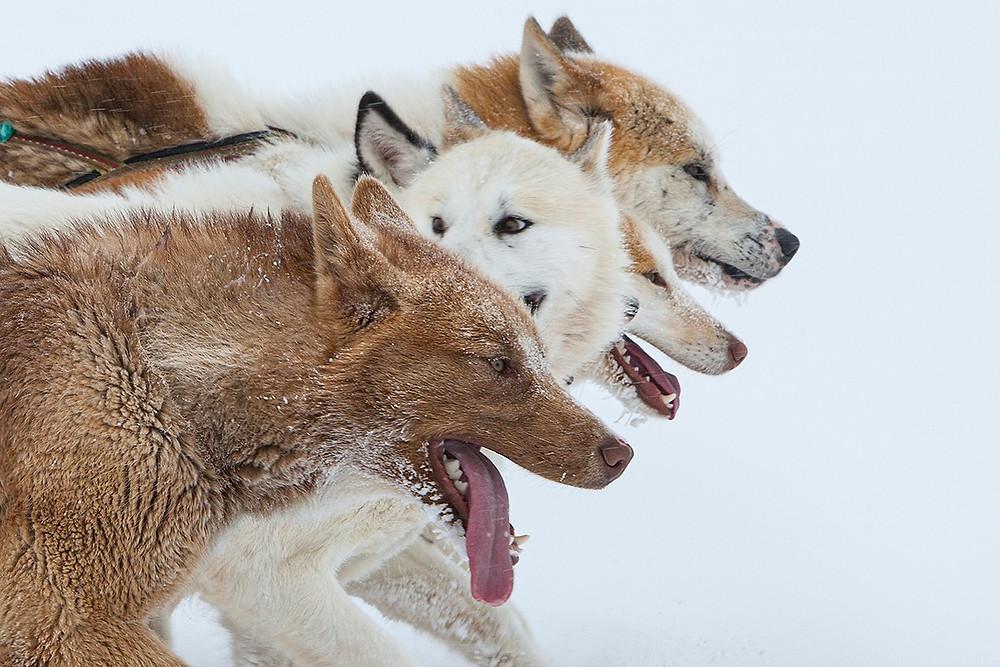 Cães de trenó