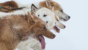 Cães de trenó e humanos: convívio de 9.500 anos