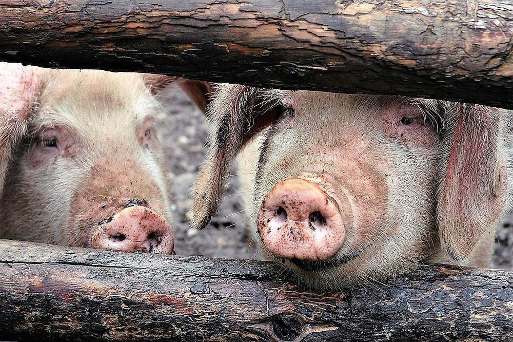 porcos do Tibet