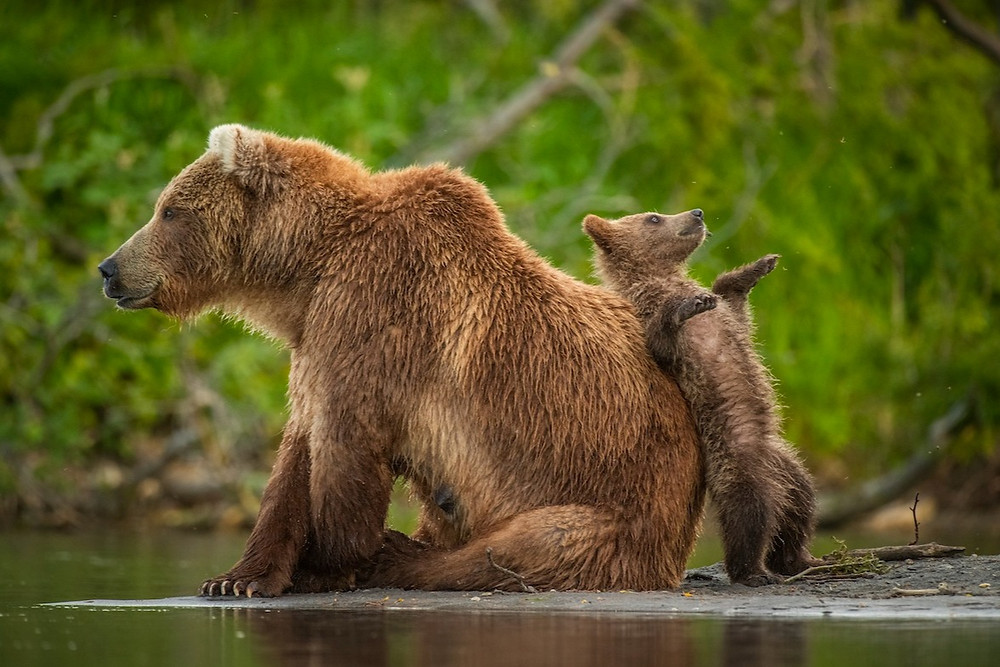 Ursos-marrons russos
