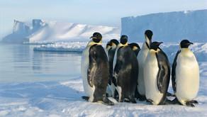 Cocô revela mais pinguins na Antártica