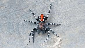 Aranha-Coringa ganha nome de Joaquin Phoenix