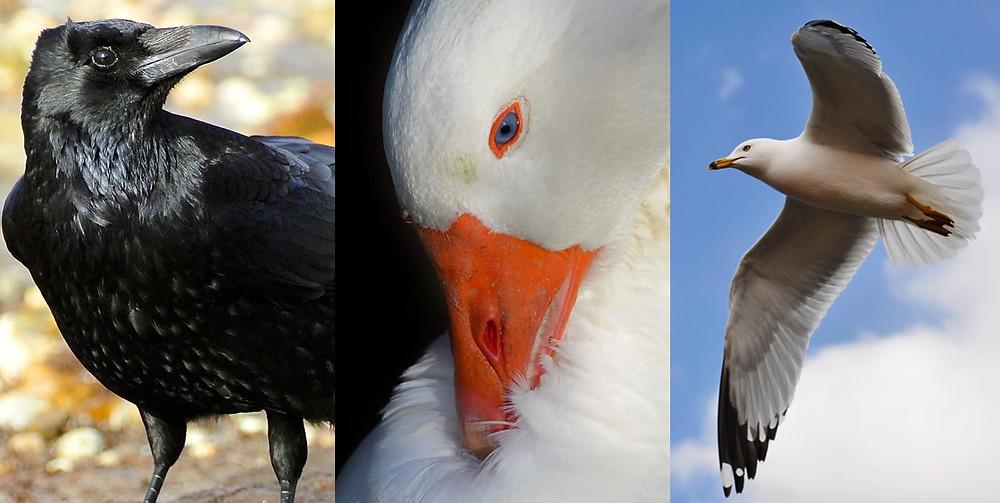 Corvo, pato selvagem e gaivota