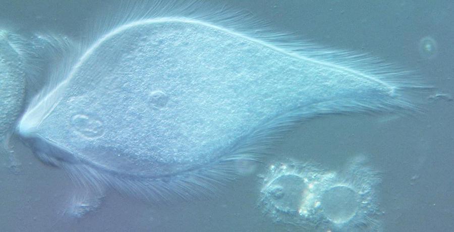 Micróbio Pseudotrichonympha peart, ou Neil Part