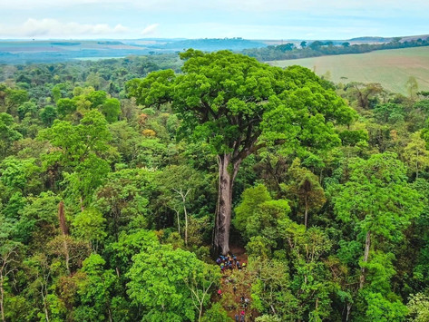 Esta árvore é uma lenda das matas brasileiras