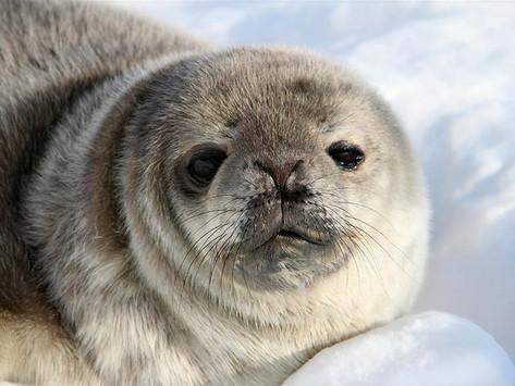 Mais de 330 mil pessoas se uniram para contar focas