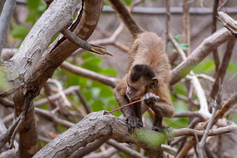 Macaco-prego caça