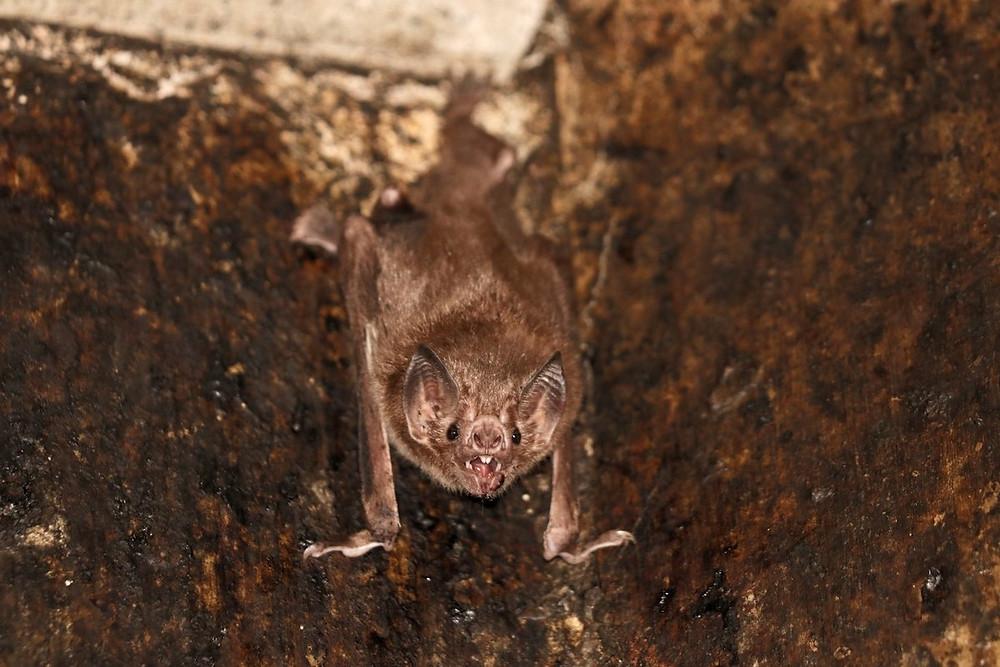 Morcego-vampiro-comum
