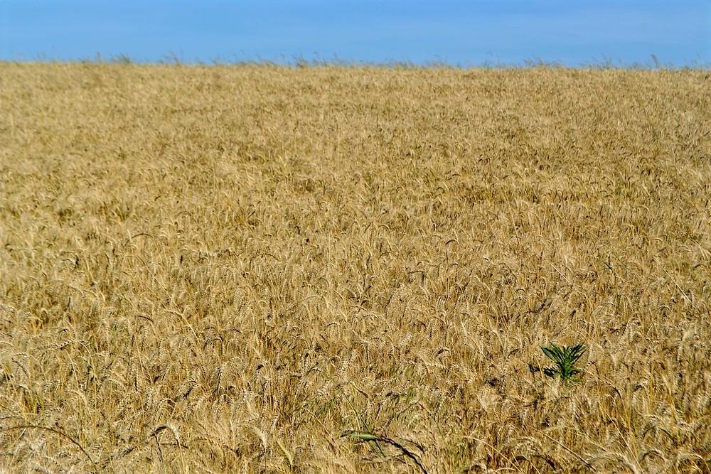 Plantação gaúcha de trigo
