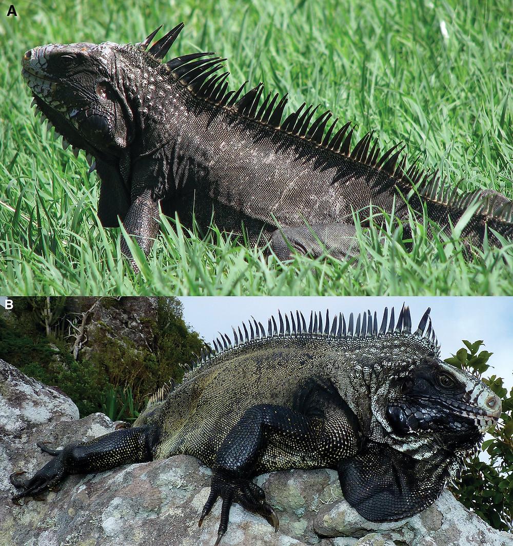 Iguanas negras do Caribe