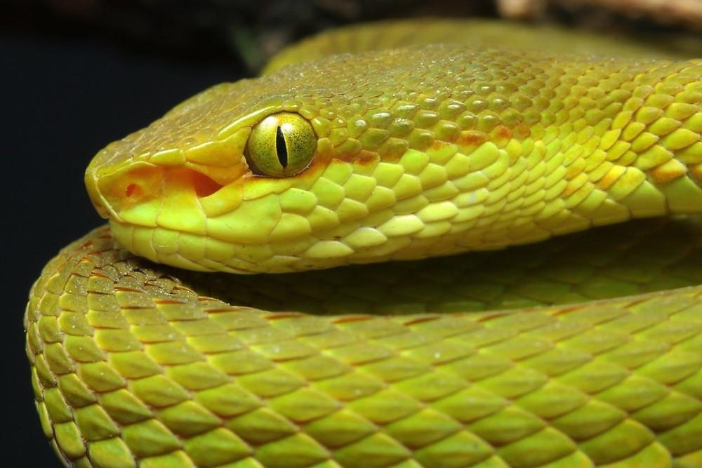 nova serpente verde Trimeresurus salazar