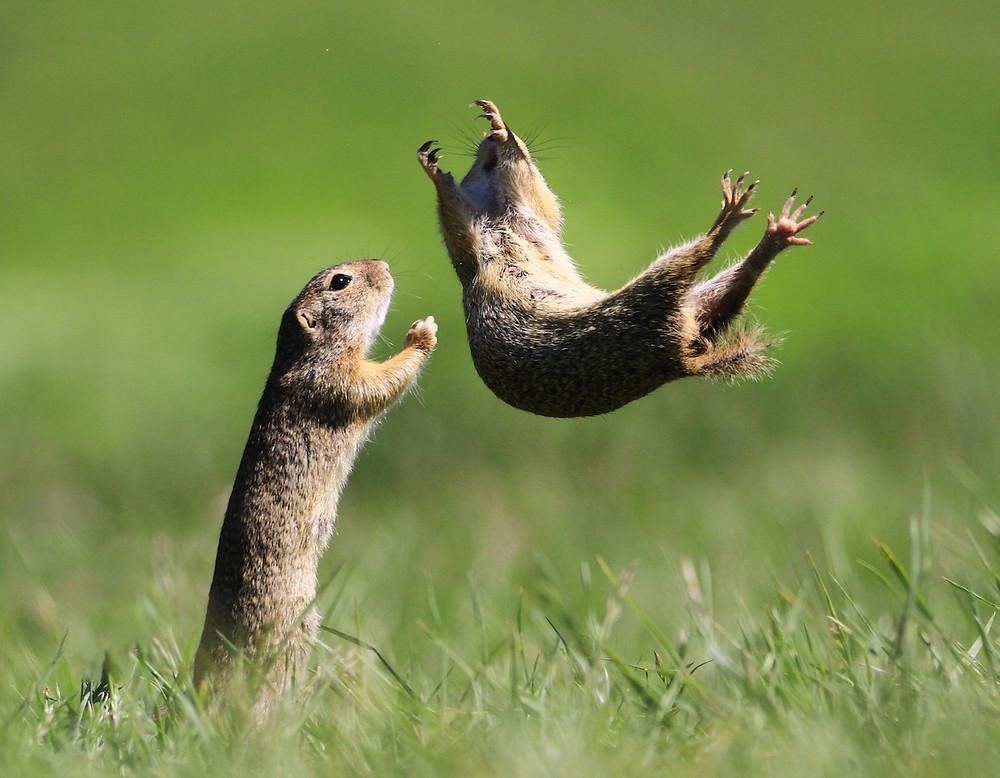 Esquilos-do-campo