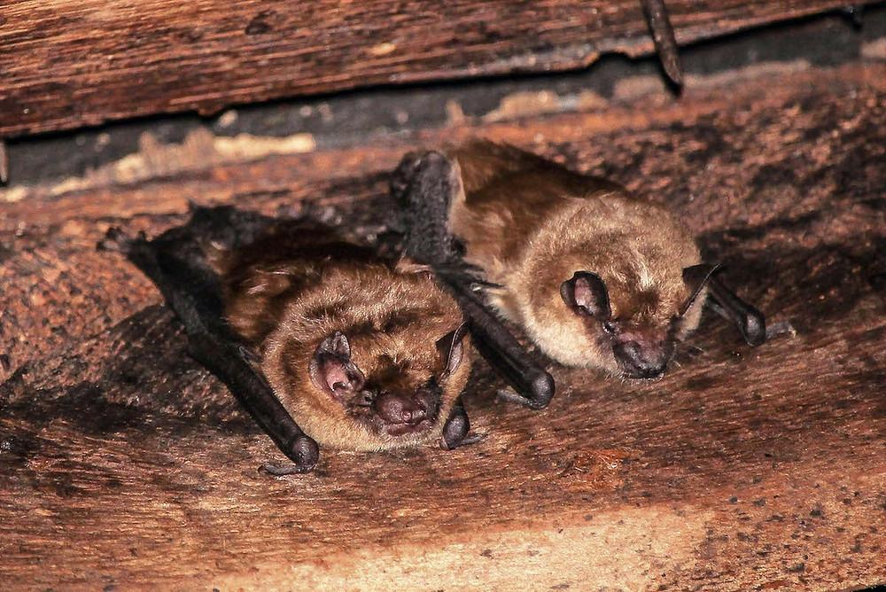 Morcegos-marrons-grandes