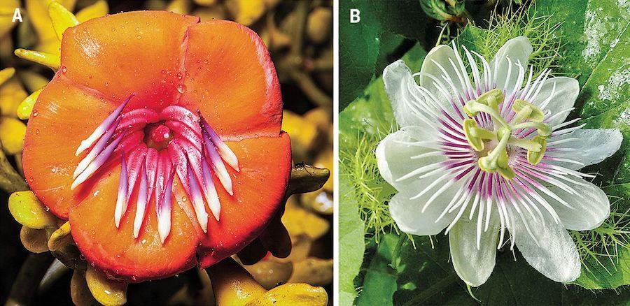 Meriania aurata, do Equador, e Passiflora foetida, presente em todas as áreas das Américas  | Foto: O. Hokche