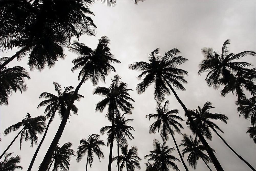 Coqueiros em Monrovia
