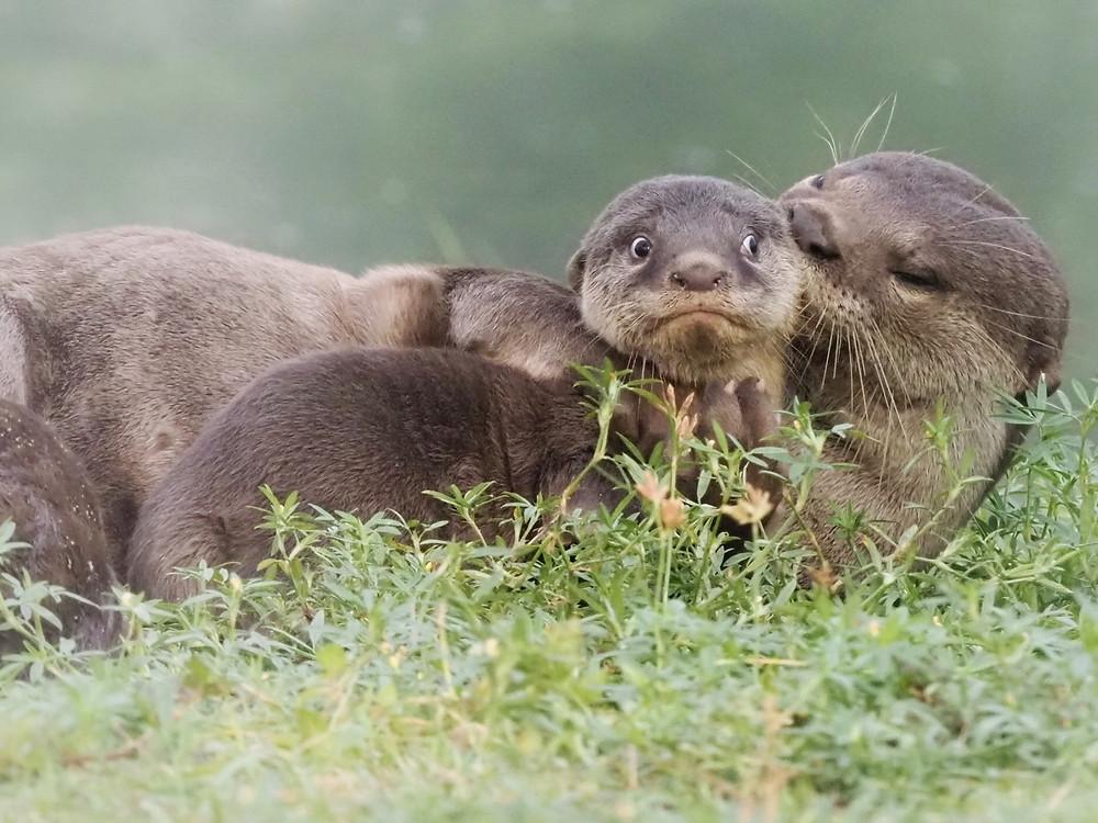 Lontras-de-pelo-liso