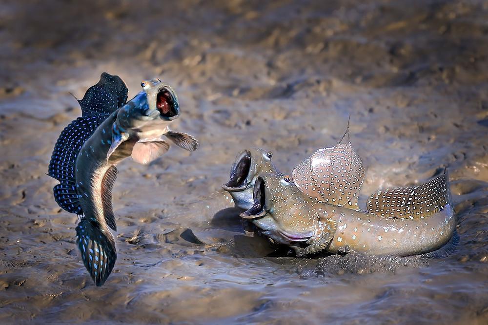 Peixes-anfíbios
