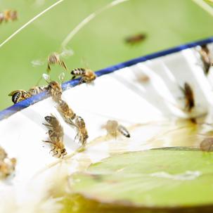 Bienentränke