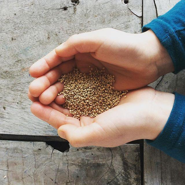 Quinoa blanc d'Ile-de-France