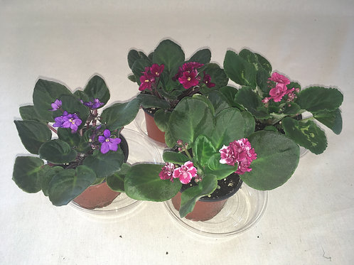 Assorted African Violets