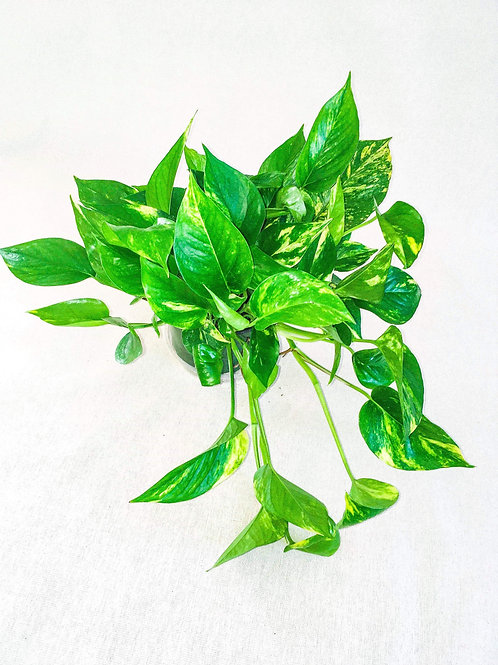 6 inch philodendron