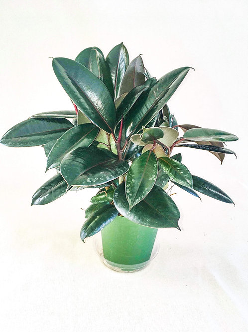 6 inch Burgundy Ficus (Rubber Plant)