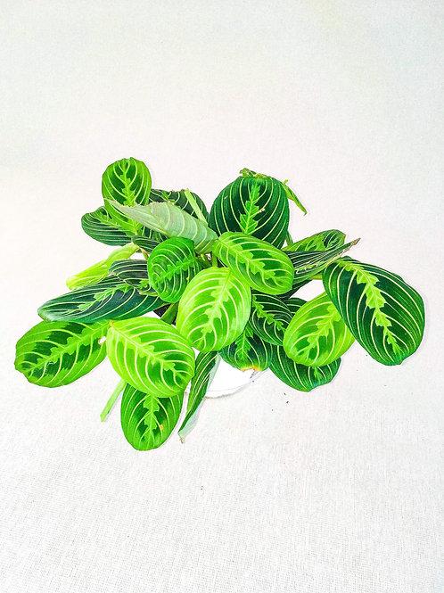 6 inch prayer plant lime