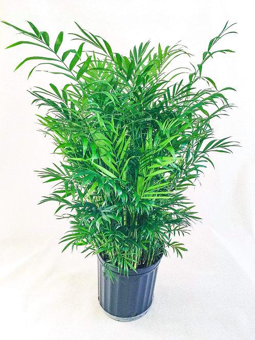 8 inch palm