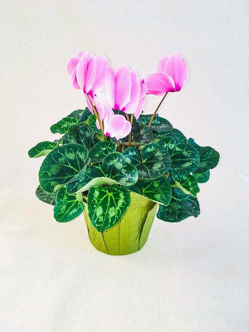 6 inch pink Cyclamen