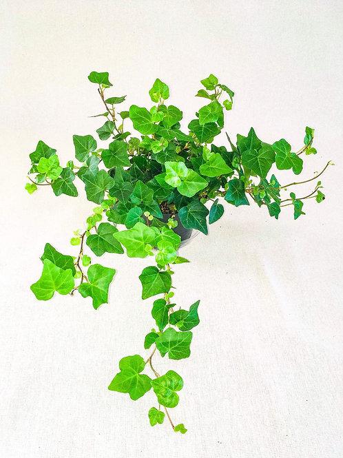 6 inch Ivy