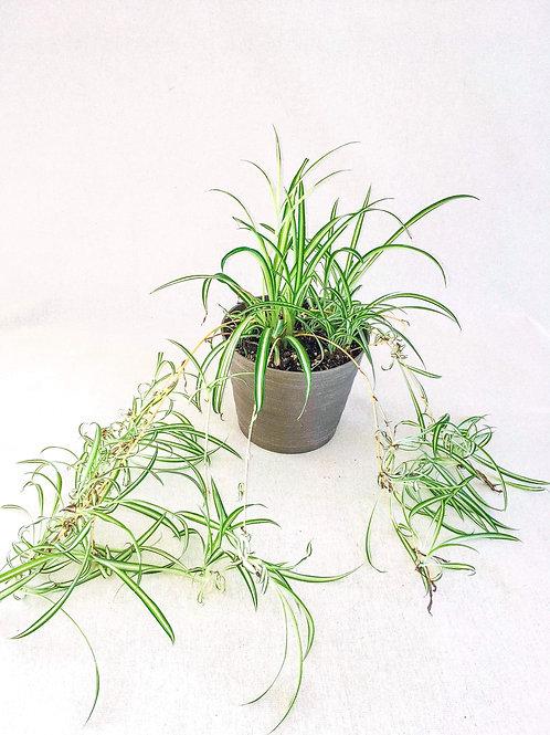 6inch spider plant