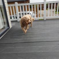Chester enjoying the decking