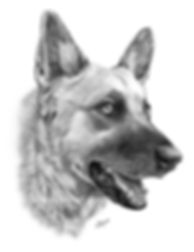 German Shepherd pencil drawing